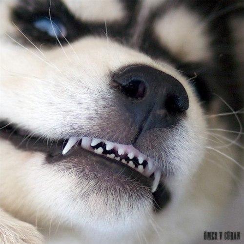 Меню и новости хаски вредные собаки