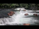 Brown Bears fishing at Brooks River Falls Katmai Nat'l Pk Alaska HD