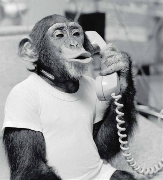 обезьяна говорит по телефону