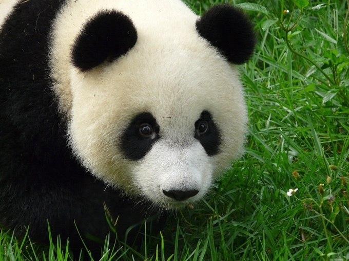 Милые и забавные панды Newpix.ru - позитивный интернет-журнал