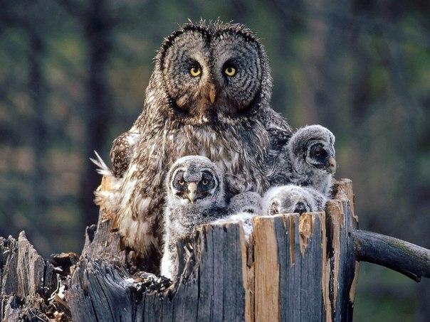 Фото маленьких совят рядом с мамой большой серой совой.