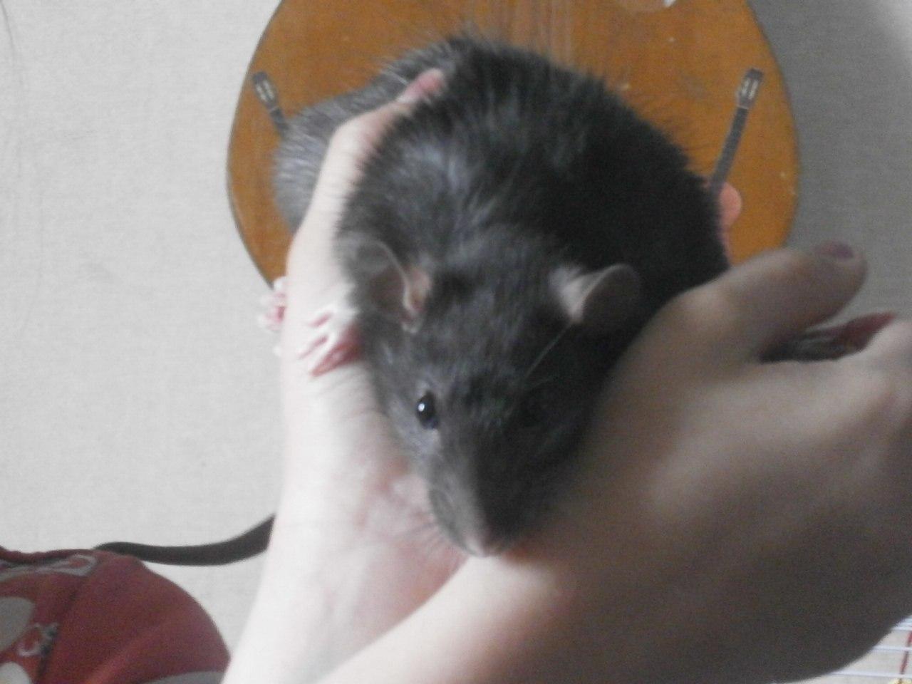 Декоративные крысы, описание, разновидности, уход, содержание 97