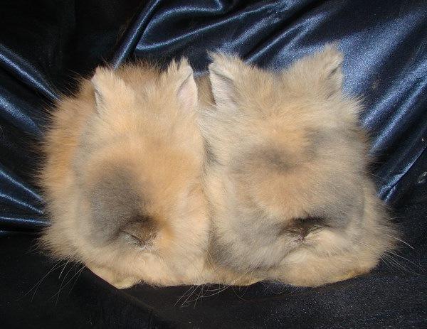 """...хозяйство  """"Сибирская усадьба """" предлагает карликовых крольчат породы..."""