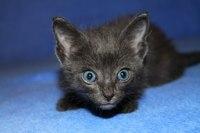 Котенок девочка Гемифея 1 месяц.  Кошка 1 год...  Тюмень.