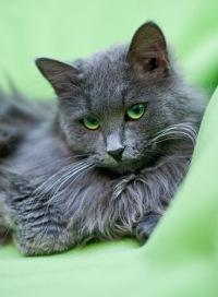 Породы котов нибелунг