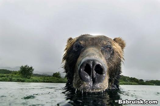 """медведи  """" Лучшие приколы рунета, смешное фото и видео- almaty4god.kz."""