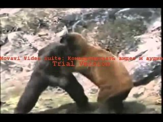 ������� ������ ������� Gorilla vs  Bear