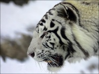 White Tiger, 15 июня 1999, Тольятти, id173741403