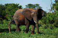 Африканский слон - намного крупнее индийских, снято в Замбези Нашнл парк, Зимбабве (красновато-ржавого цвета...