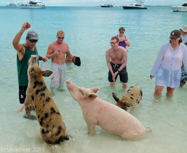 Багамские свиньи