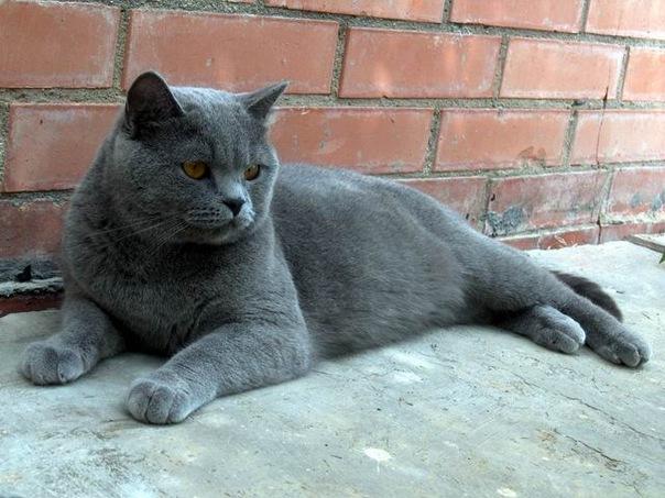 Пропала кошка.  Британская голубая порода.  Вечером 15.09.2011 вышла за...