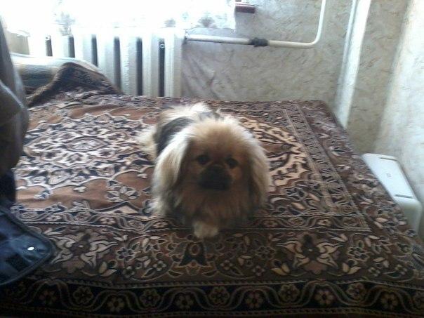 фото.  Пропала собака Пекинес.