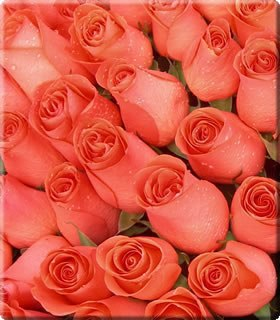 фото самые красивые розы