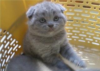 котята голубые вислоухие фото
