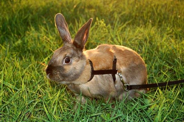 Сшить шлейку для кролика
