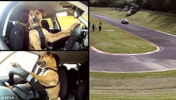 Кто и каким образом научил собак водить машину? Специалисты
