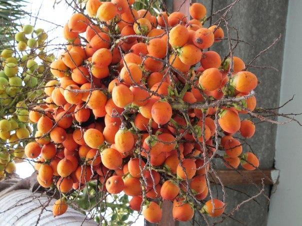 Фруктовое дерево Арека