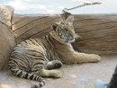 Канчанабури, тигриный храм, тигренок