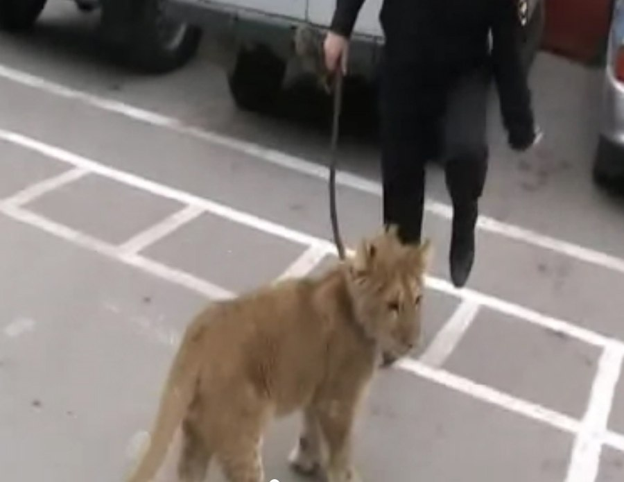 В Ростовской области в лесу школьники нашли львенка! ВИДЕО