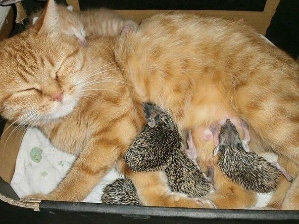 На одном из дачных участков умерла мама-ежиха, и ее слепые малютки остались совсем одни. На помощь пришла кошка Соня.   Почему? Да потому что Соня — мама. А мамы не бросают голодных малышей, даже если они ёжики.