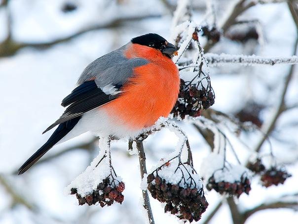 (с) птицы / природа, птицы снегирь http://sakhalinname/letat_okhotaru/ / природа, птицы