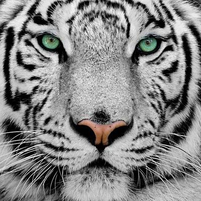 Тигр Белый, 18 декабря , Москва, id227413038