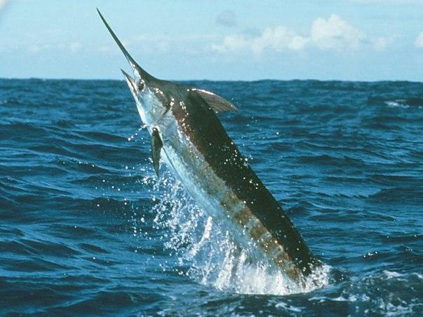 Фото из инета - рыба-меч.  Вадимка.