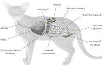 Пищеварительная и выделительная системы кошки.