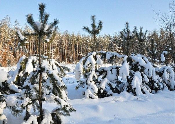 в зимнем лесу.....