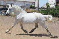 Светло-серая масть лошадей: фото, видео, описание.