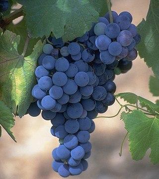 Администрация Карасукского района Новосибирской области проводит открытый фестиваль винограда - 2012.