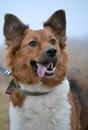 Собака Пальма, помесь английской и шотландской (колли) овчарки.