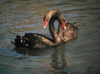Black Swan, 23 декабря , Каменец-Подольский, id184355175