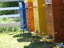В каждом пчелином улье живут 20 000—60 000 пчел.  Пчелиная матка откладывает почти 1 500 яиц в день...  Просмотров.