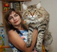 Кот, принадлежащий к породе мейн-кун по кличке Купидон, обладал чрезмерно большим.