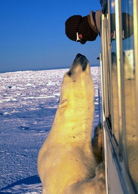 Громадный полярный медведь решил познакомится с режиссером фильмов о...
