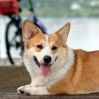 коржик порода собак