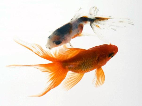 Аквариумные здоровые рыбки.