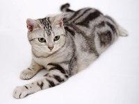 Размеры от мелких (лесная и степная кошка) до средних и крупных (рысь и пума).  По строению черепа, окраске меха и...