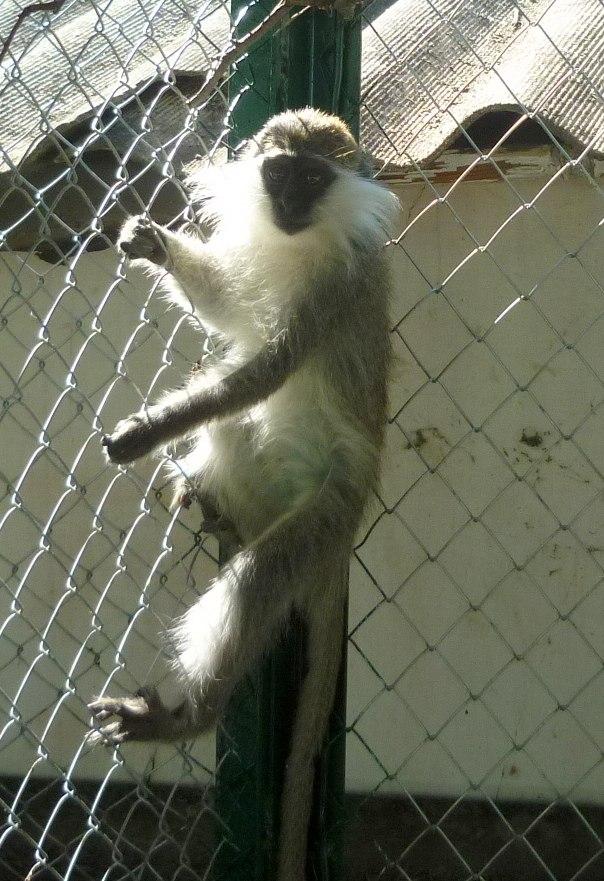 Новая наша обитательница - зелёная мартышка Марго!))