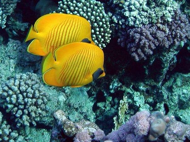 """Обитатели кораллов  """" рыба-бабочка  """" KORALL.biz - Коралловый остров."""