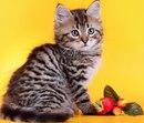 Окрасы кошек зависят от генетических и наследственных признаков и...