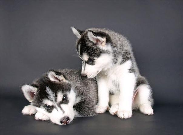 """Re: п-к  """"SPIRIT SIBERIA """": щенки от Локи и Фортуны. фефочки."""
