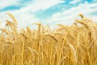 Красивые фотографии с пшеничным полем.  Колоски пшеницы на фоне голубого неба, золотые колосья на закате солнца...
