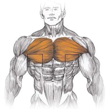 часть грудных мышц.