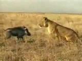 Кабан против льва. Кто кого?