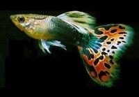 """Принято считать, что гуппи  """"простые """" для содержания аквариумные рыбы.  Продавцы часто советуют их начинающим..."""
