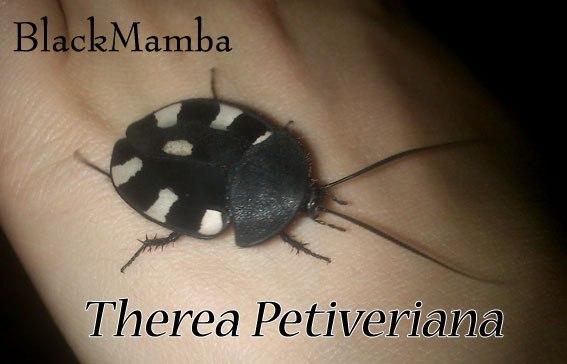продам таракашек Тherea petiveriana личинки и есть немного имаго NKFLlyIYFso