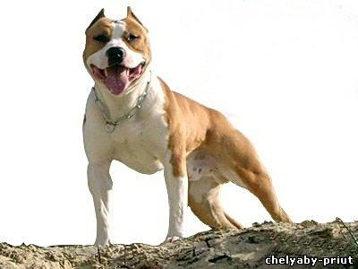 В Ивановской области бойцовая собака насмерть загрызла мужчину.