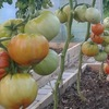 Выращивание помидор, дача, сад, огород.